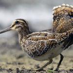 Птица бекас (лат. Gallinago gallinago)