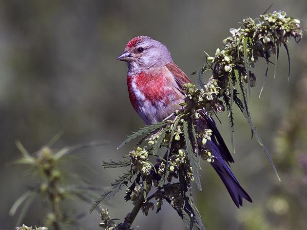 Птица коноплянка (лат. Carduelis cannabina)