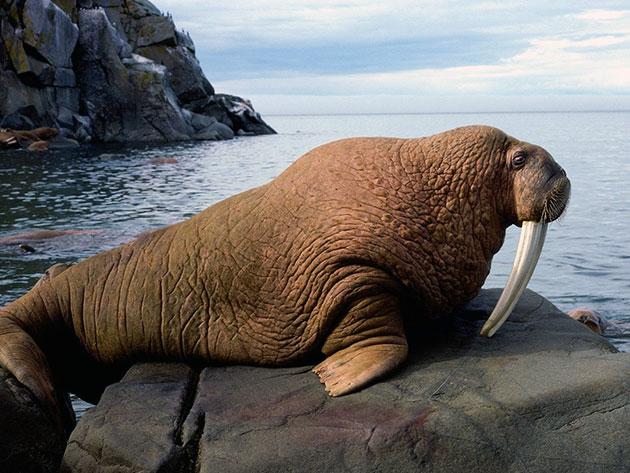 Атлантический морж