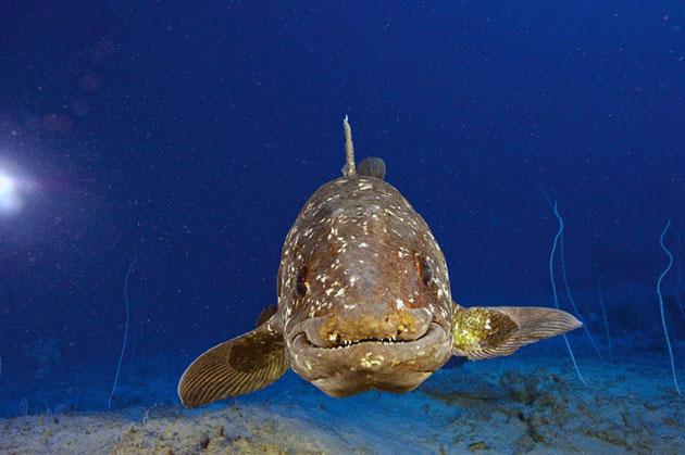 Латимерия частично питается представителями фауны со дна океана