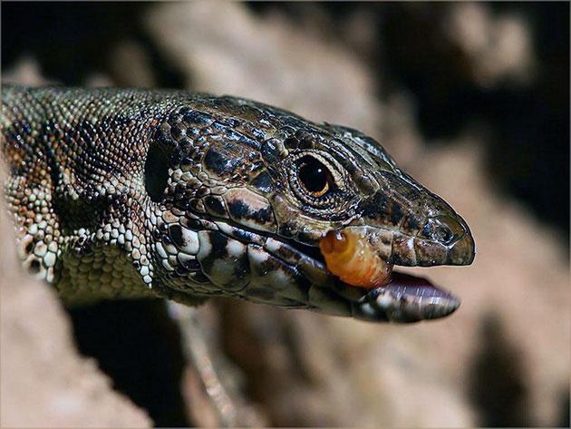 Ящерицы питаются как животную, так и растительную пищу