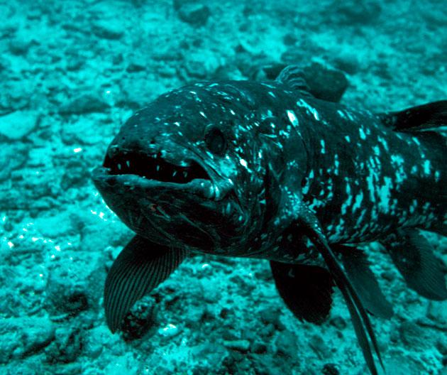 В течение дня латимерия «отсиживается» в пещерах группами по 12-13 рыб