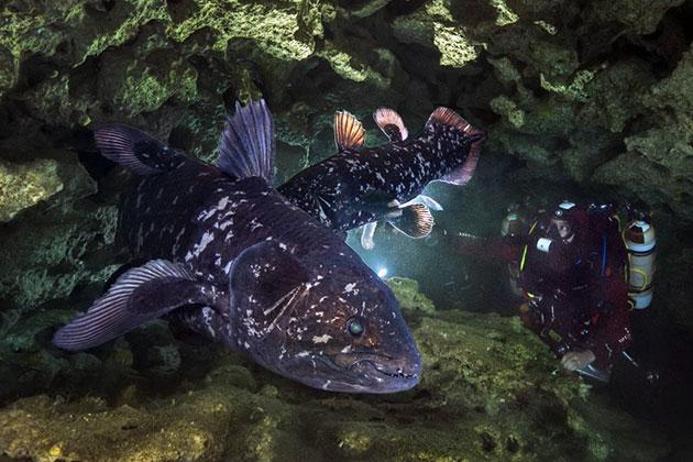 Рыба латимерия непригодна для пищевого употребления.