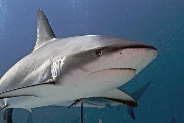 Животные Австралии – Серая обыкновенная акула
