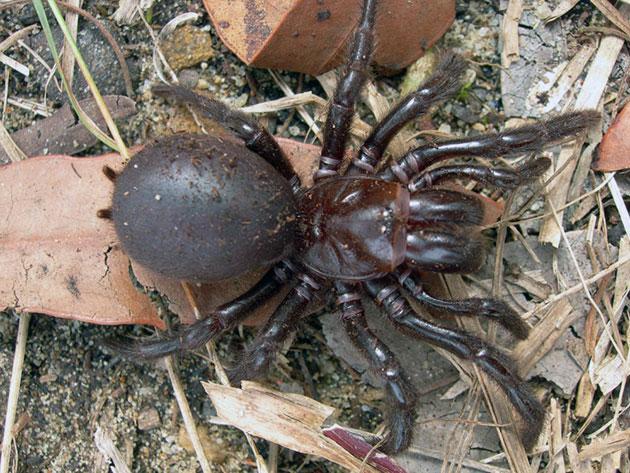 Животные Австралии – Сиднейский лейкопаутинный паук