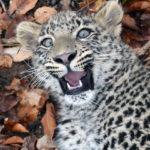 Переднеазиатский леопард или кавказский барс