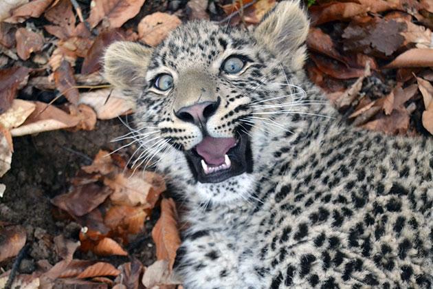 На сегодняшний день переднеазиатский леопард охраняется законом