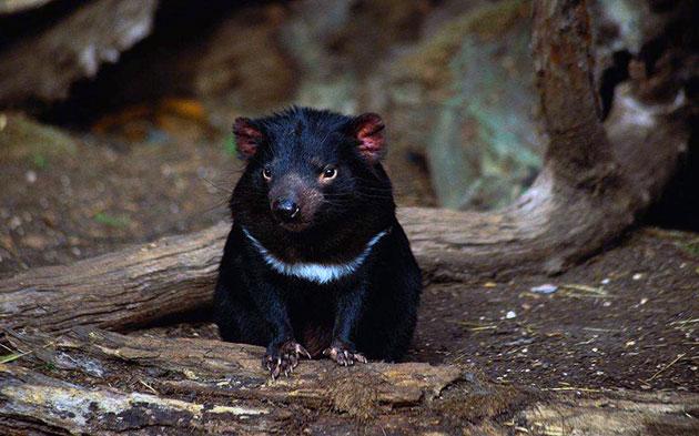 Животные Австралии – Тасманийский дьявол