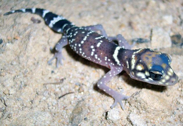 Животные Австралии – Толстохвостый геккон