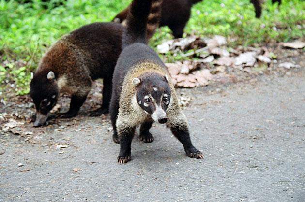 В род носух включено три основных вида и один, встречающийся исключительно в долинах Анд