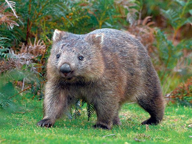 Животные Австралии – Вомбаты