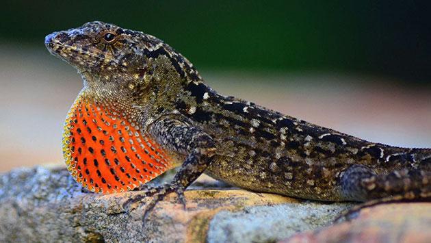 На сегодняшний день некоторые виды ящериц занесены в красную книгу
