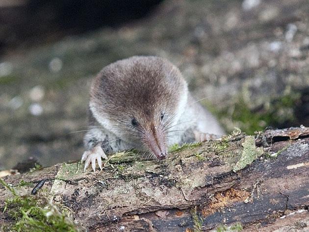 Врагами землероек в природе являются хищные ночные и дневные, а также врановые птицы, некоторые хищные млекопитающие