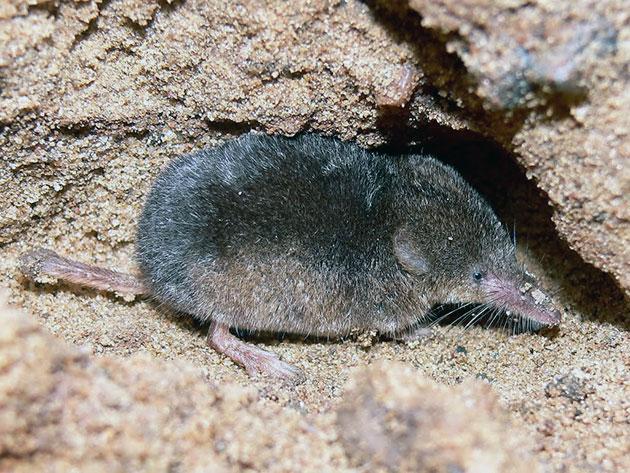 Землеройки (лат. Soricidae)