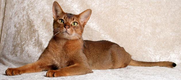 Породы кошек - Абиссинская