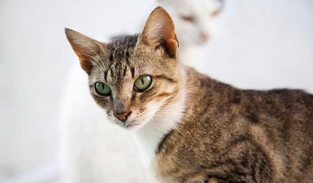 Породы кошек - Эгейская