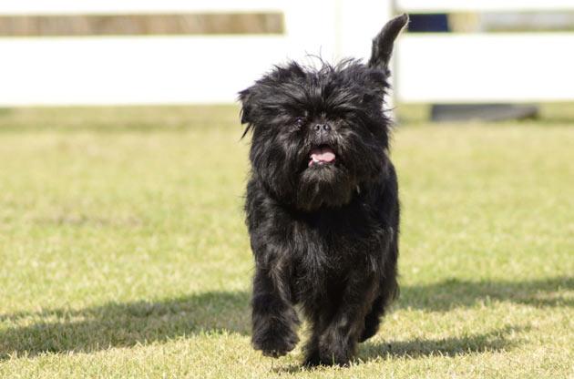 Породы собак - Аффенпинчер
