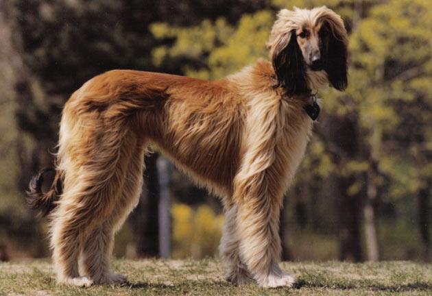 Породы собак - Афганская борзая