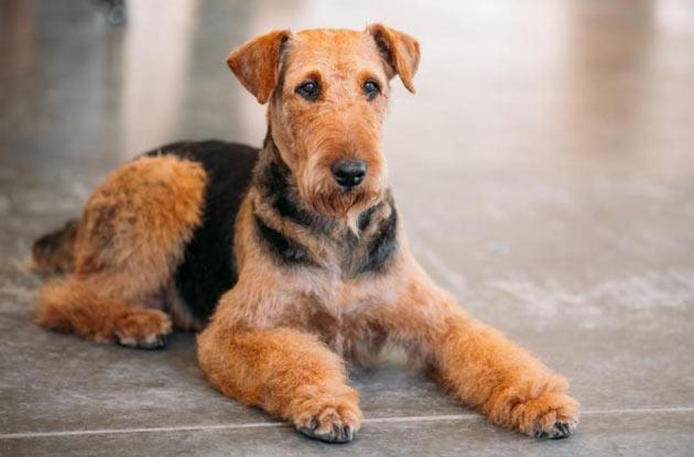 Породы собак - Эрдельтерьер
