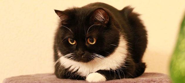 Породы кошек - Акринская