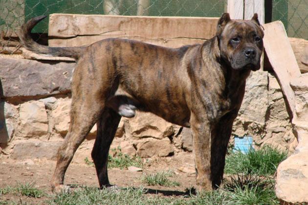 Породы собак - Алано