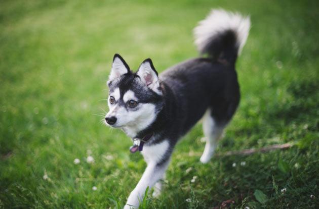 Породы собак - Аляскинский Кли-Кай