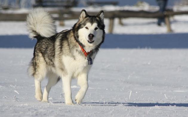 Породы собак - Аляскинский маламут