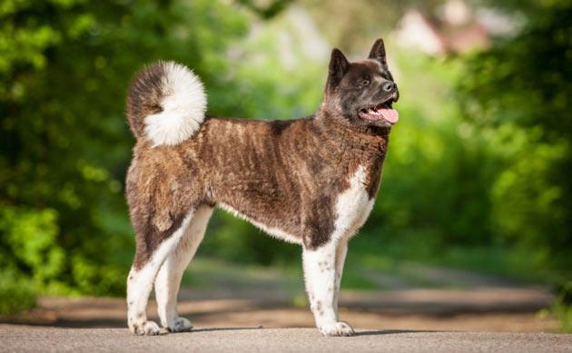 Породы собак - Американская акита