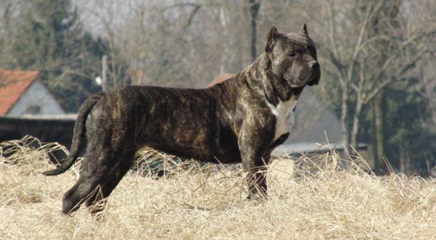 Породы собак - Американский бандог