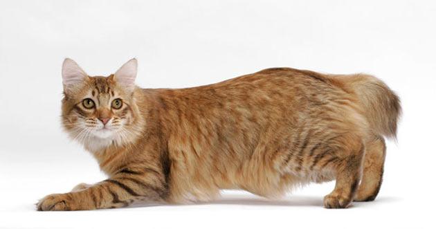 Породы кошек - Американский бобтейл