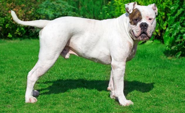Породы собак - Американский бульдог