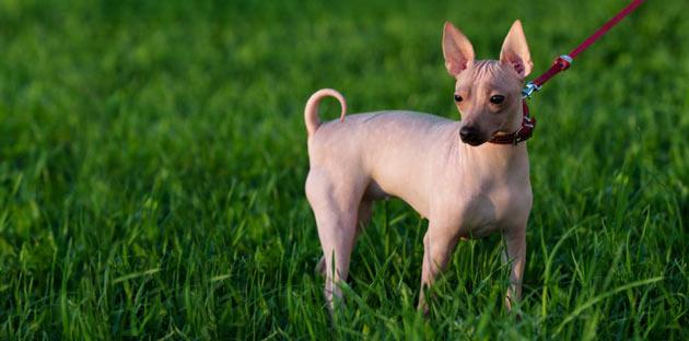 Породы собак - Американский голый терьер
