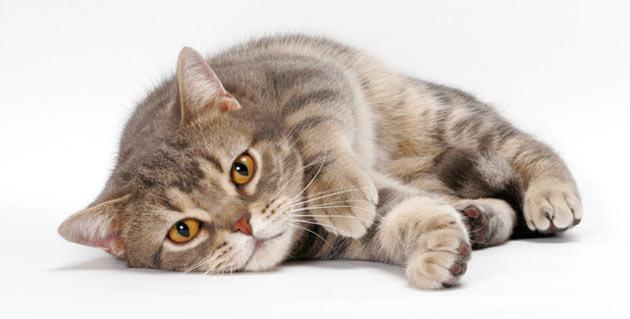 Породы кошек - Американская короткошёрстная