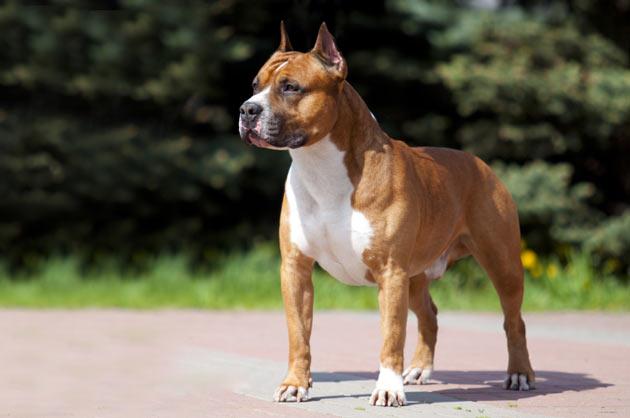 Породы собак - Американский стаффордширский терьер