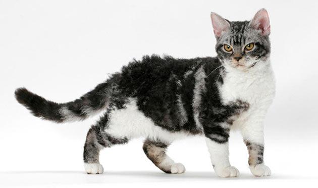 Породы кошек - Американская жесткошёрстная