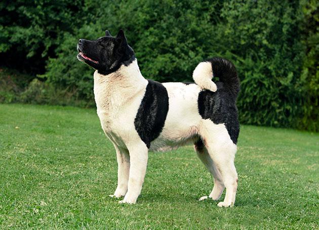 Американская акита – чрезвычайно дружелюбная собака