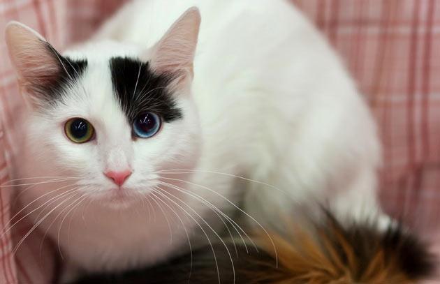 Породы кошек - Анатолийская