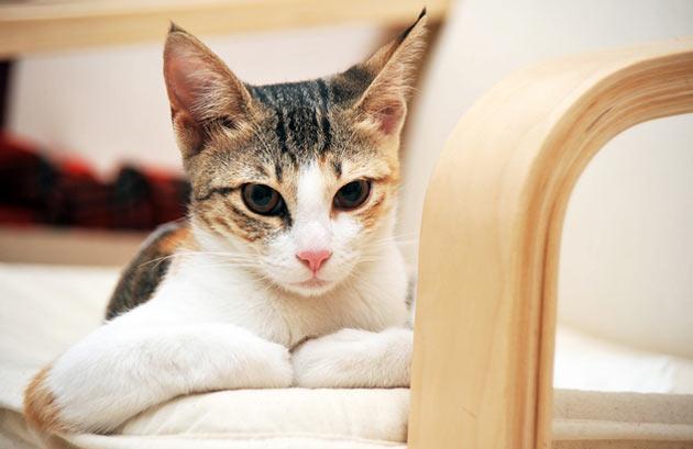 Породы кошек - Аравийский мау