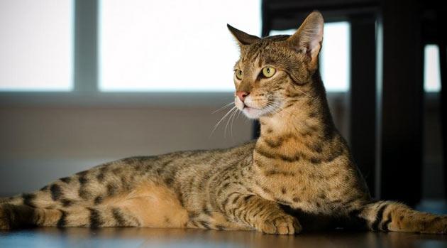 Породы кошек - Ашера