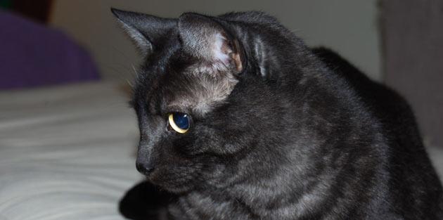 Породы кошек - Азиатская