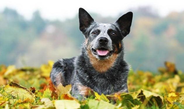 Породы собак - Австралийская пастушья собака