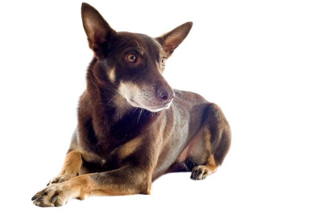 Породы собак - Австралийский келпи