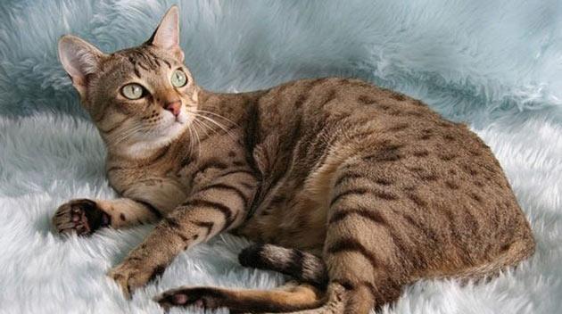Породы кошек - Австралийский мист