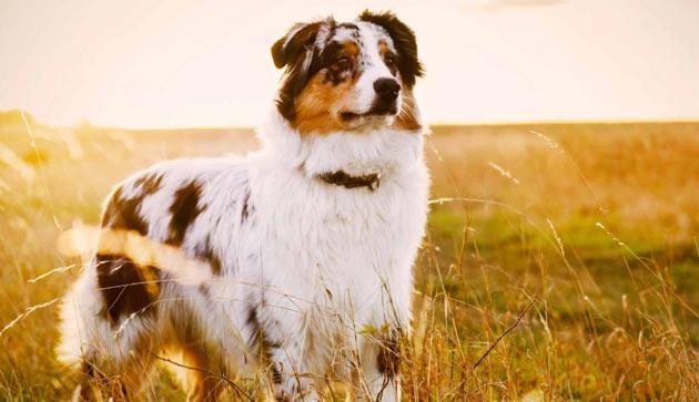 Породы собак - Австралийская овчарка