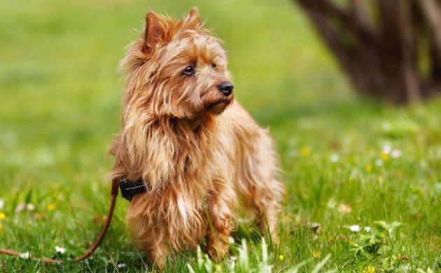 Породы собак - Австралийский терьер