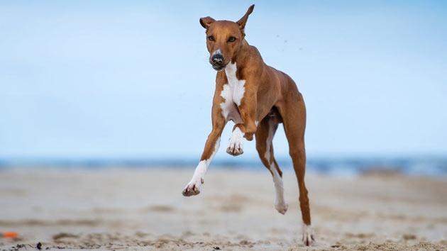 Породы собак - Азавак