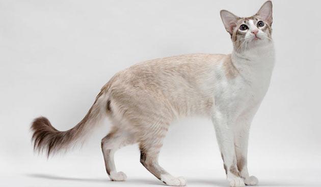 Породы кошек - Балинезийская