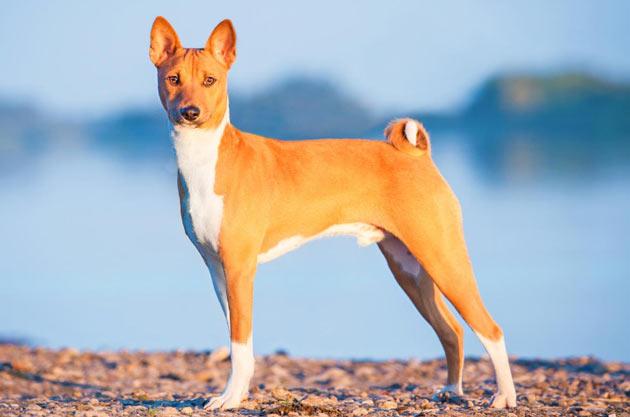Породы собак - Басенджи