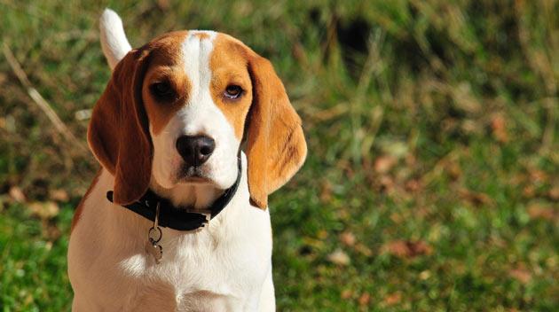 Породы собак - Бигль