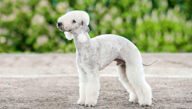 Породы собак - Бедлингтон-терьер